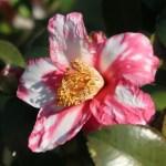 Sasanqua camellia/ サザンカ 蜀紅錦ハルサザンカ