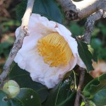 Japanese camellia/ ツバキ 品種:曙