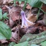 Asian fawnlily/ カタクリ まだ蕾の花の様子