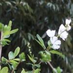 Pearl bush/ リキュウバイ 花の咲いている様子