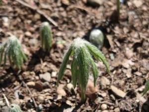 Shredded umbrella plant/ ヤブレガサ 若い芽生え
