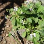 Viola diffusa/ ツクシスミレ 花の咲いている様子