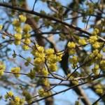 Lindera praecox/ アブラチャン 花の咲いている様子