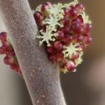 Alchornea trewioides/ オオバベニガシワ