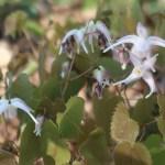 Epimedium sempervirens/ トキワイカリソウ 花の姿