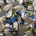 White magnolia/ ハクモクレン 花の姿