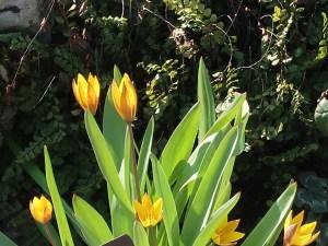 Tulipa neustruevae/ ツリパ・ネウストルエヴァエ