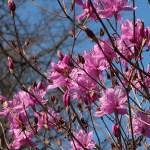 Rhododendron reticulatum/ コバノミツバツツジ 花の様子