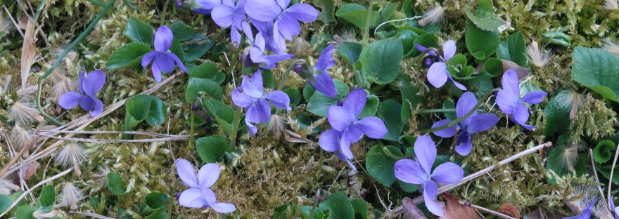 Hairy violet/ ヘアリー・バイオレット