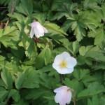Wood anemone/ ヤブイチゲ 花の様子