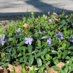 Bigleaf periwinkle/ ツルニチニチソウ 花の咲いている様子