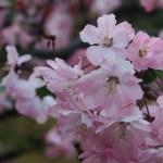 Hall crabapple/ ハナカイドウ 花の姿