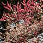 Peach モモ 源平 花の咲いている様子