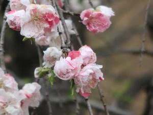 Peach モモ 源平枝垂れ