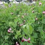 Pea/ エンドウ 花の様子