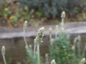 Fringed lavender/ フリンジドラベンダー キャンディキャンズ