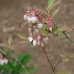 Blueberry/ ブルーベリー 花の咲いている様子