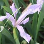 Milky iris/ ネジアヤメ