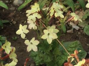 Jasmine tobacco/ シュッコンタバコ 花の様子