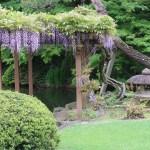 Japanese wisteria/ フジ 花の咲いている様子