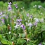 Violet orychophragmus/ オオアラセイトウ 花の咲いている様子