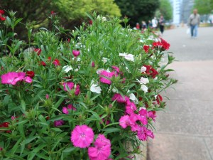 Dianthus/ ナデシコ属 花の咲いている様子