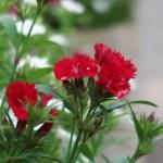 Dianthus/ ナデシコ属 花の様子