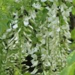 Japanese wisteria/ フジ 品種:白野田藤