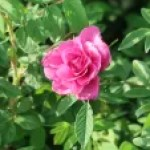 Species Cross/ Turkstan rose/ マイカイ