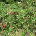 Species Cross/ Rosa rugosa scarlet/ ロサ ルゴーサ スカーレット 花の咲いている木の様子