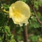 Wild/ species rose/ Rosa hugonis