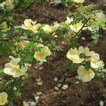 Wild/ species rose/ Rosa hugonis 花の様子