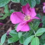 Old garden rose/ H.Rugosa/ Rosa Rugosa Scabrosa/ ロサ・ルゴーサ・スカブローサ 花の様子