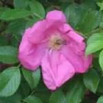 Old garden rose/ H.Rugosa/ Rosa Rugosa Scabrosa/ ロサ・ルゴーサ・スカブローサ