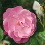 Wild/ species rose/ Rosa chinensis Old Blush オールド・ブラッシュ 花の姿