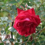 Wild/ species rose/ Semperflorens/ センパフローレンス 花の様子