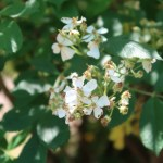 Wild/ species rose/ Rosa multiflora/ Multiflora rose/ ノイバラ