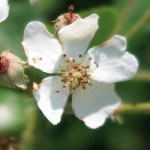 Wild/ species rose/ モリイバラ 花の姿