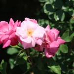 Wild/ species rose/ Rosa chinensis Old Blush オールド・ブラッシュ 花の様子