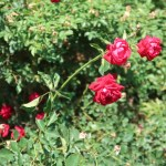 Wild/ species rose/ Semperflorens/ センパフローレンス 花の咲いている様子