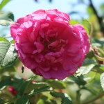 Species Cross/ Turkstan rose/ マイカイ 花の姿