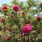 Species Cross/ Turkstan rose/ マイカイ 花の咲いている様子