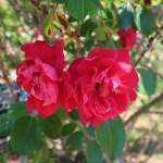 Species Cross/ Rosa rugosa scarlet/ ロサ ルゴーサ スカーレット 花の様子