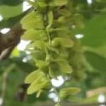 Chinese wingnut/ シナサワグルミ