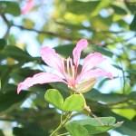 Bauhinia blakeana/ アカバナハカマノキ 花の様子