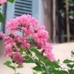 Crape myrtle/ サルスベリ 花の様子