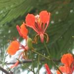 Flame tree/ ホウオウボク 花の様子