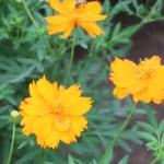 Sulfur Cosmos/ キバナコスモス 花の姿