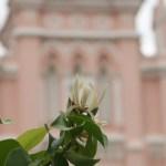 White champaca/ ギンコウボク 花の様子