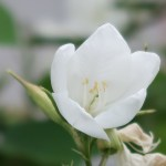White orchid-tree/ モクワンジュ 花の姿